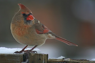 Photo: A Female Northern Cardinal for #BirdPoker : Winter Birds curated by +Phil Armishaw  I usually get 2 or three pairs hanging around for the better part of the winter.