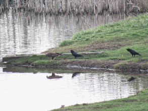 Photo: Priorslee Lake Not entirely sure what the Buzzard is doing – looks as if he thinking about diving in! No doubt the Crows are anxious to help their arch enemy. (Ed Wilson)