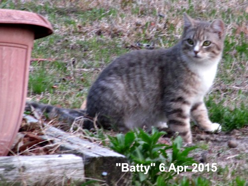Batty - a feral, spayed farm cat