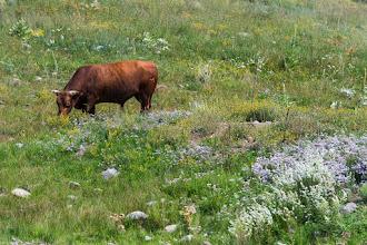 Photo: Bull grazing in field of flowers, Tierra Amarilla