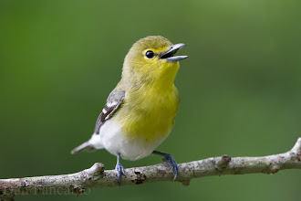 Photo: Yellow-throated Vireo - Laffite's Cove