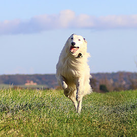 Having Fun by Chrissie Barrow - Animals - Dogs Running ( field, grass, pet, white, fur, legs, dog, lurcher, running )