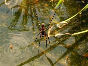 Photo: AUSTRALIE-Araignée