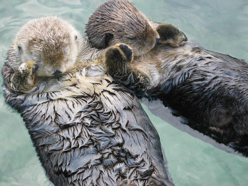 Cute Otters Wallpaper Images