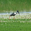 Black-necked stork (Jabiru)