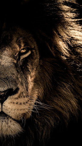 African Lion Wallpaper App Report On Mobile Action App