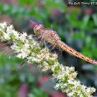 Broad scarlet, common scarlet-darter, scarlet darter, Scarlet dragonfly.