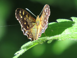 Photo: 7 Jul 13 Priorslee Lake: Speckled Wood catches the sun! (Ed Wilson)