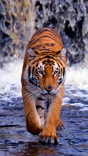 Download Tiger Wallpapers 4k Free For Android Tiger Wallpapers 4k Apk Download Steprimo Com