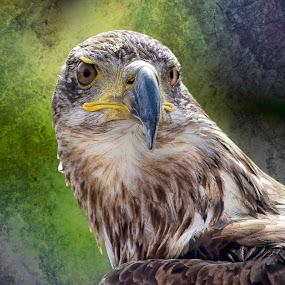 by Al Duke - Animals Birds ( eagle )