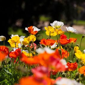 Tall Poppies by Jan Crawford - Flowers Flower Gardens ( orange, spring flowers, bright, poppies, yellow, flowers, spring )
