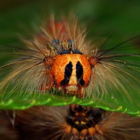 gypsy moth caterpillar by Marko Lengar - Animals Insects & Spiders ( caterpillar, bug, buterfly, insect, lymantria dispar,  )