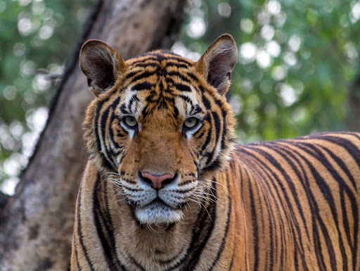 The Bengal tiger is found chiefly in India with smaller groups in China, Myanmar, Bangladesh, Nepal and Bhutan. About 2,500 live in the wild.
