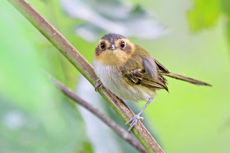 Photo: Ochre-faced Tody-Flycatcher