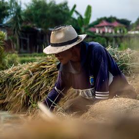 coleecting by Yosep Atmaja - People Professional People ( rice, farmer, padi, traditional, java, harvest,  )
