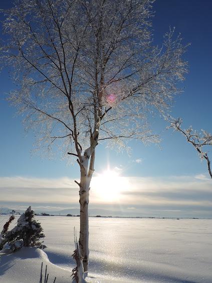 早朝の雪原に立つ白樺