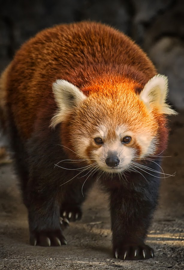 Red Panda by Linda Tiepelman - Animals Other Mammals ( forest park, red, saint louis zoo, bears, brown, raccoon, red panda, black )