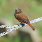 Tropical/Southern House Wren