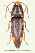 Photo: Physorinus quadrinotatus, 10,7 mm, Costa Rica, Corcovado NP (08°27´/-83°29´), leg. & det. Erwin Holzer
