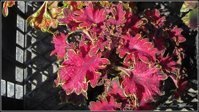 Photo: 2015.05.20 - Urzica ornamentala - din Piata Agroalimentara Centrala