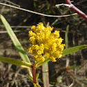 Narrowleaf Yellowtops