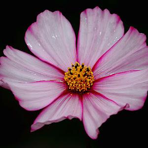 Pink cosmos.jpg