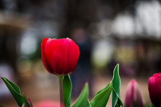 Photo: #tulips  #flower  #canberra  #floriade #floriade2015
