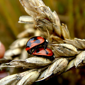 lady birds by Samir Kr Samanta - Animals Insects & Spiders ( lady birds, insect mating, spotted bettle, beetle, mating lady bird,  )