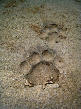 Photo: Jaguar tracks