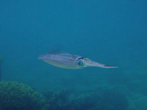 Photo: Sepioteuthis lessoniana (Bigfin Reef Squid), Naigani Island, Fiji.