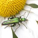 Thick legged flower beetle (male)