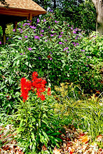Photo: Cardinal Flower and New York Ironweed flower for a long period and are great for #rainscapes.