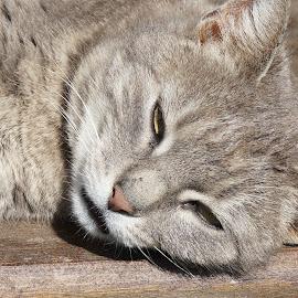 Falling asleep by Sámuel Zalányi - Animals - Cats Portraits ( tomcat, sunshine, cat, asleep, grey,  )