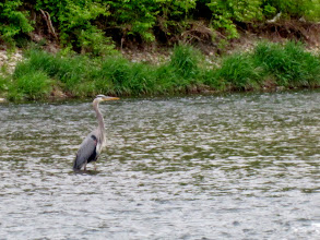 Photo: Heron in a river at Eastwood Park in Dayton, Ohio.