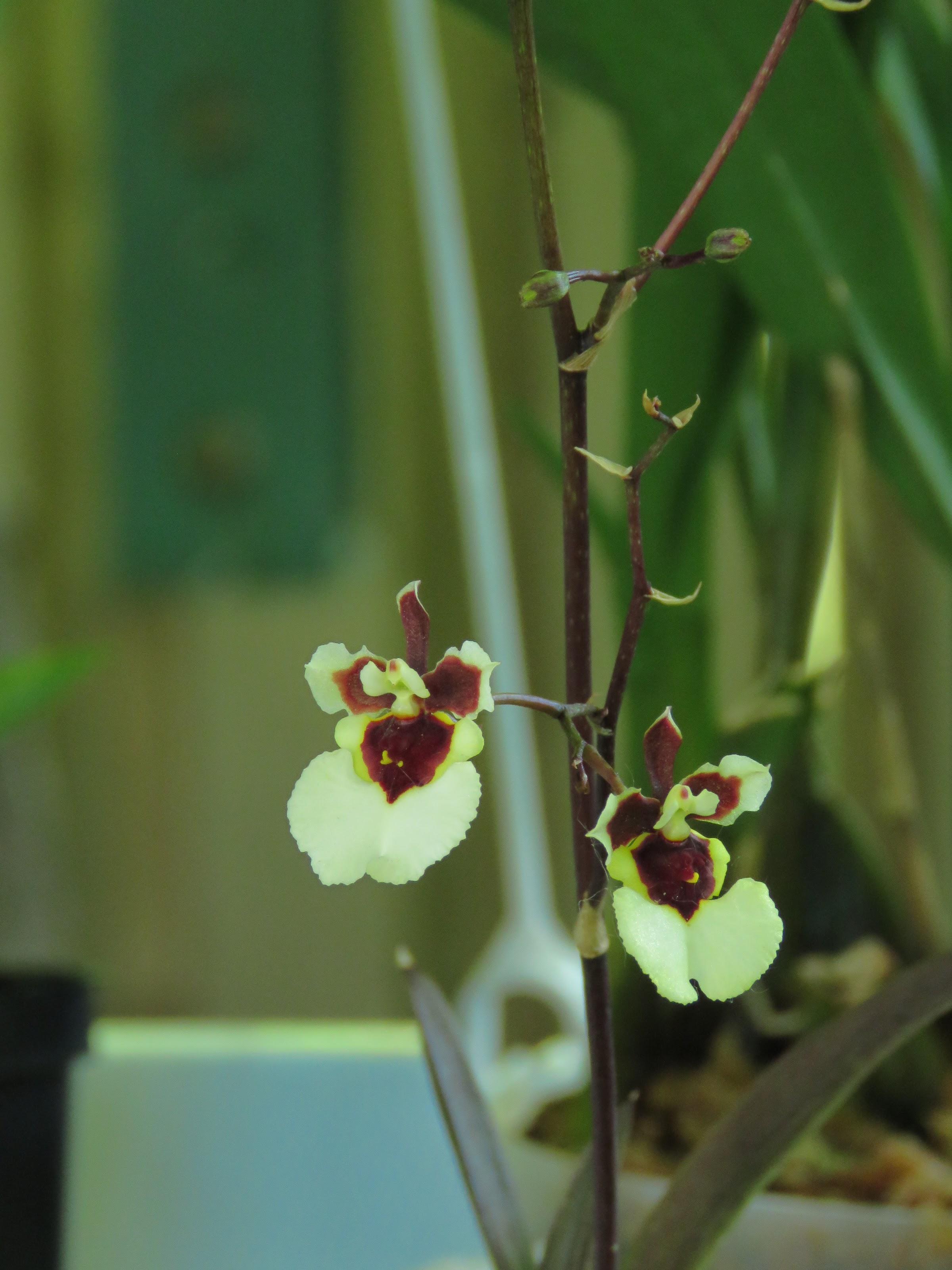 Les orchidées de Grigri - Page 5 U3y7b_Xi_ynneiGlg9sGzAOXQ5lc_VBfOm7-x0MGAt1dz8g9NTGpKliTl2ZwL1DWQqHoheDuO-g4RCPzH6n-lduYzmAjwb3VYTTpYRXcziobObzRQePwQZjUgpt9DpslvpZ5j1DA1vk=w2400