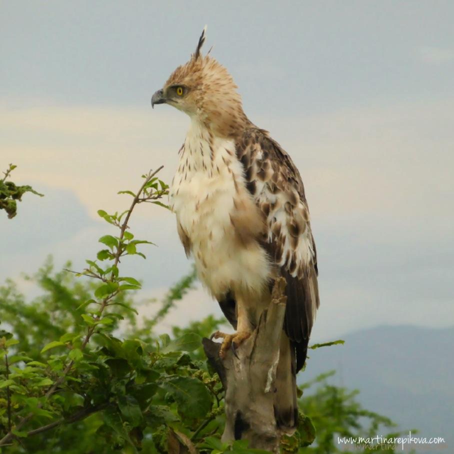 Eagle, Uda Walawe, Sri Lanka