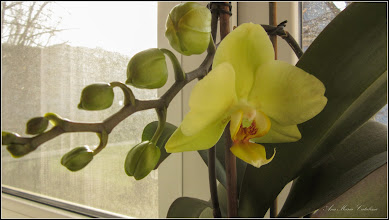 Photo: Orhidee (Orchidaceae)  - din Turda, Calea Victoriei, B15, ap.8 - 2019.03.13