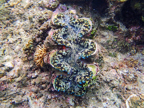 Photo: Tridacna squamosa (Fluted Giant Clam), Miniloc Island Resort reef, Palawan, Philippines.