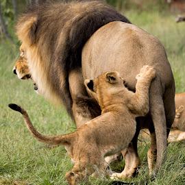 Testing boundaries by Karin De Leeuw Luck - Animals Lions, Tigers & Big Cats