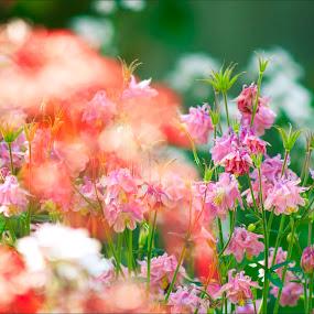 Spring Splash by Jack Noble - Nature Up Close Flowers - 2011-2013 ( jack nobre, rose, canada, toronto, flower, photography )