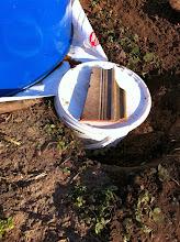Photo: a zsákról a tea egy földbe süllyesztett kis vödörbe folyik.