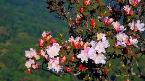 Mộc Châu tháng Tư   Hoa đỗ quyên nở rộ Pha Luông