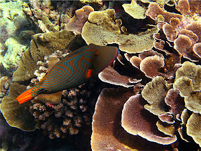 Photo: striped triggerfish and mushroom coral