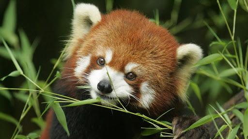 Red Panda Pack 2 Wallpaper