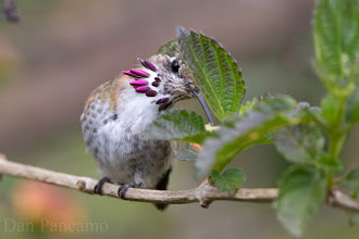Photo: Calliope Hummingbird of Laffite's COve