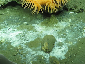 Photo: White bacterial mats indicate seep activity. Image courtesy of Deepwater Canyons 2012 Expedition, NOAA-OER/BOEM.