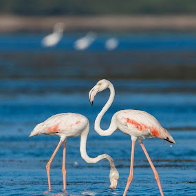 Symmetry by Santanu Majumder - Animals Birds ( pulicat, birds, india, water, flamingos )