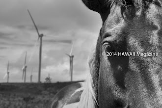 Photo: OUTDOORS CATEGORY, FINALIST. Horse ranch near Kahuku, Oahu. Photo by Leone Papalii, Honolulu, Oahu, Hawaii.