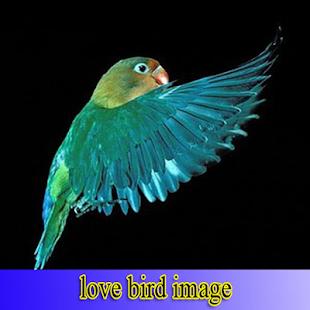 Lovebird Images - náhled