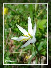 Photo: Phalangère à fleurs de lis, Anthericum liliago